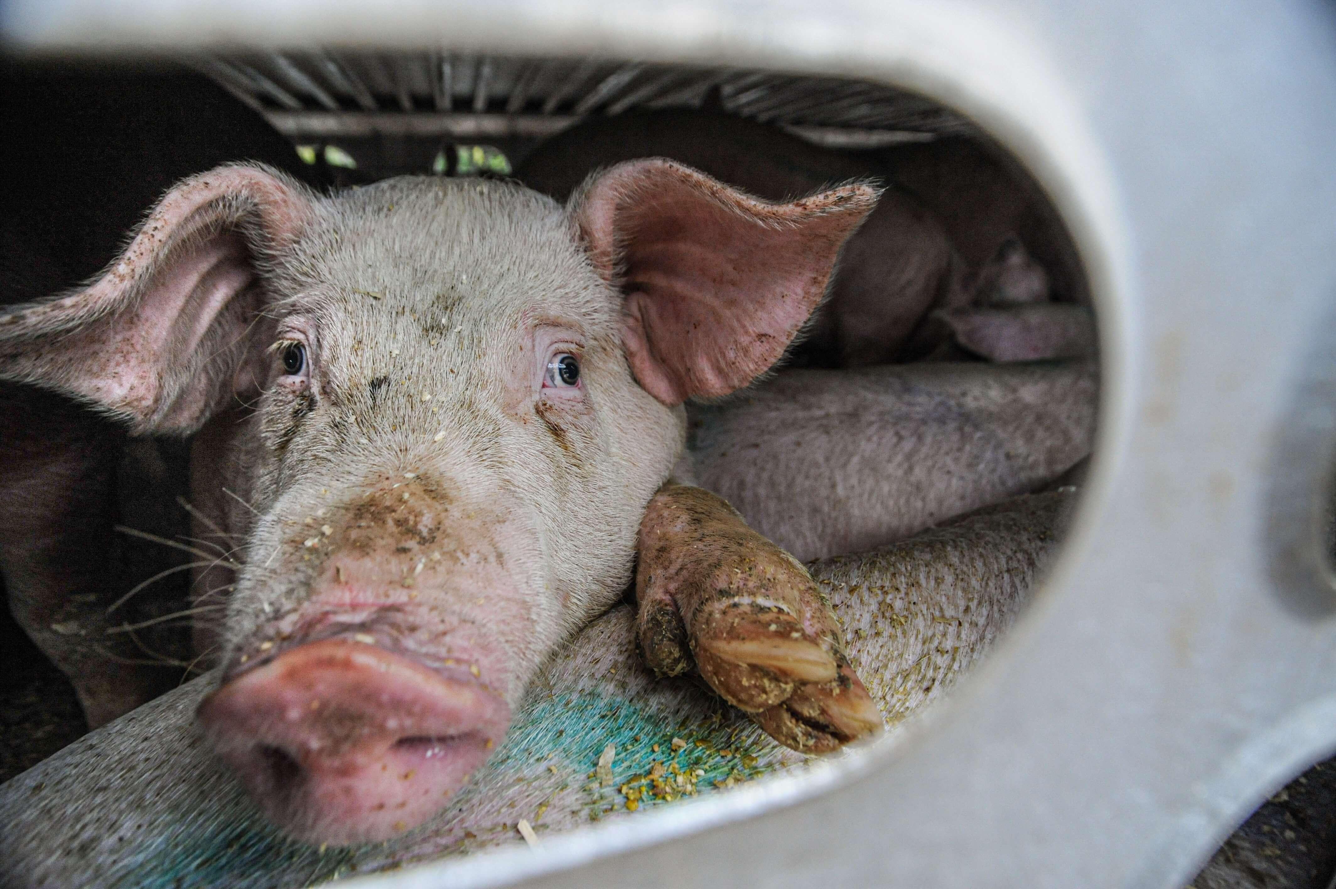 Transporting pigs